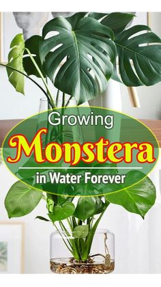 Cool How to Grow Lush Monstera Plant in Water