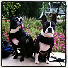 PHOTO - Molly and Macey the Boston Terrier Girls from Los Angeles, USA. http://www.bterrier.com/molly-and-macey-from-los-angeles-usa/