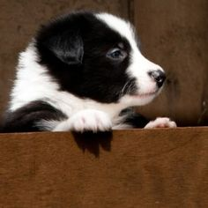 One of our youngest collies in the film