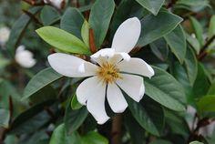 Magnolia 'Cream Fairy' (syn Michelia) pbr — Warners Nurseries