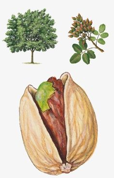 Pistachier Botanical Drawings, Botanical Illustration, Botanical Prints, Botanical Gardens, Autumn Activities For Kids, Science For Kids, Site Art, Pistachio Tree, Illustration Botanique