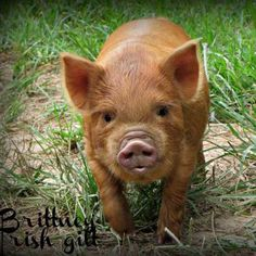 Miniature Pet Pigs – Why Are They Such Popular Pets? – Pets and Animals Cute Baby Animals, Farm Animals, Animals And Pets, Baby Pigs, Pet Pigs, Beautiful Creatures, Animals Beautiful, Kune Kune Pigs, Miniature Pigs
