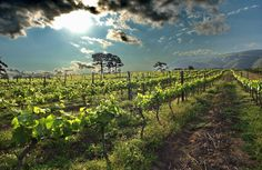 Constantia & The Love of Wine for South Africa  Articles Web