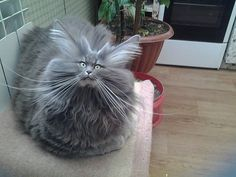 Bad Hair Day Cat cute animals cat cats adorable animal kittens pets kitten funny pictures funny animals funny cats Special thanks to Sharon Osberg: Here are some funny cats. I hope these funny cat videos … Cute Funny Animals, Funny Animal Pictures, Funny Cats, Funniest Animals, Animal Pics, Funny Photos, Funny Images, Cute Kittens, Cats And Kittens