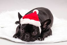 Santa french bulldog