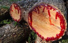 Dracaena Cinnabari The Dragon Blood Tree - MotherEarth