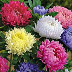 Australian Seed - ASTER Tall China Mix Types Of Flowers, All Flowers, Pretty Flowers, Paper Flowers, Beautiful Flowers Pictures, Wonderful Flowers, Flower Pictures, Cape Gooseberry, Dahlias