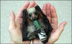 some people might not think bats are cute, but i think this is adorable.  i love his little feet wrapped around the bottle! by justine