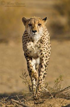 Stalking Cheetah by Morkel Erasmus, via 500px