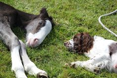 This week's winning entry is from Verity Kennard from Invercargill with this delightful photo of her Springer Spaniel, Zoe, who is absolutely smitten with their new Shire foal. Zoe takes time out from her puppies to watch over the foal and has even been caught trying to encourage the foal to suckle!