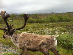 Reindeer Reindeer, Moose, Animals, Animales, Animaux, Mousse, Animal, Animais, Elk