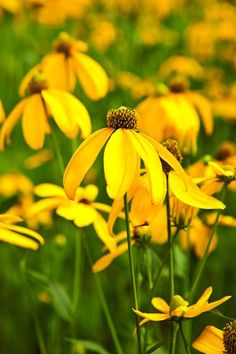 Rudbeckia nitida 'Herbstsonne', a low-maintenance perennial.  Oehme, van Sweden Hamptons Garden A bountiful, four-season Oehme, van Sweden garden on Long Island breathes new life into an 18th-century farmstead By Jenny Andrews
