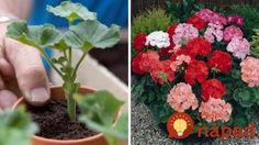 Najjednoduchší spôsob, ako rozmnožiť muškáty: Na budúci rok rozžiaria vaše okná! Growing Plants, Indoor Plants, Gardening Tips, Herbs, Flowers, Diy, Garden Ideas, Windows, Garden
