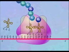 ▶ Protein Synthesis Animation Video - 2:25 tRNA is joined to the mRNA by a peptide bond. A tRNA moved into the Asite where the codons match the mRNA the Ribosome shifts down by one codon at a time and new amino acids are added one at a time. It cuts off when a stop codon moves into the A site on the mRNA. The mRNA & the amino acid/protein are both released by the ribosome. p-site, A (acceptor) site & E site =Exit
