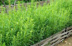 Artemisia dracunculus (Sativa-Gruppen) - fransk dragon