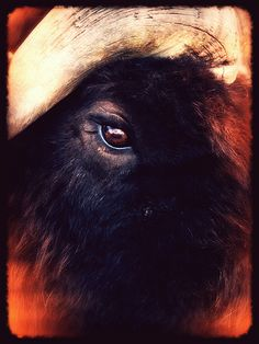 Musk Ox - my favorite