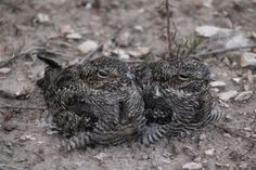 - gordonspark.com Manitoulin Island, Gordon Parks, Wildlife, Birds, Inspirational, Animals, Animales, Animaux, Bird