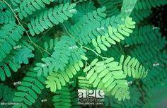 tamarindus – Vyhledávání Google Tamarind, Plant Leaves, Trees, Google, Plants, Tree Structure, Tamarindo, Plant, Wood