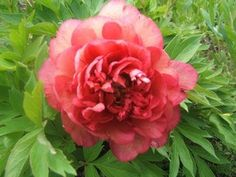 Easy Tips for Growing Peonies - YouTube