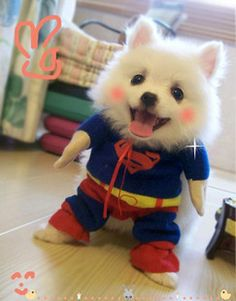 Pet Dog Clothes Costumes Superman Suit!! I want this dog.  What kind is he!! He looks like a teddy bear.