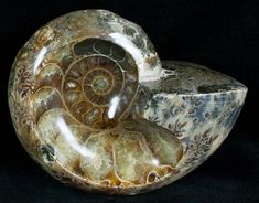 fossilera: Un fósil de la amonita agatized que ha sido pulido.  Una muestra absolutamente hermosa, que ofrece una interesanteestructura interna de este animal prehistórico.  Estos ammonites son del periodo Cretáceo,