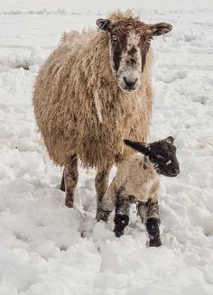 Amazing Sheep and Lamb on Snow
