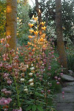Marathon lilies (lilium martagon) look great in a woodland planting scheme…