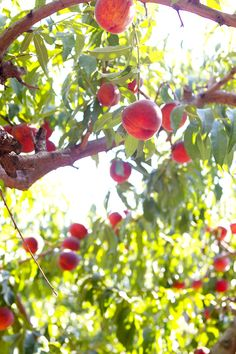"""I can almost grab those peaches on this tree. Remind me of a sentence that work with me ."""" If you can reach for it you can have it"""" :-)"""