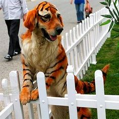"A Golden Retriever ""painted"" to look like a tiger for the opening of a zoo in China in 2010."