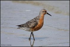 Red Knot (Calidris canutus) Bird photographed on mudflats at low tide.