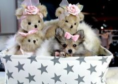Pomeranian teacup puppies for sale! We ship, very safe! Easy financing available!!! visit our website teacuppuppiesstore.com or call 954-353-7864 Pomeranian Puppy For Sale, Teacup Puppies For Sale, Teacup Pomeranian, Dogs And Puppies, Doggies, Teach Dog Tricks, My Pet Dog, Dog Collar Boy, Online Pet Supplies