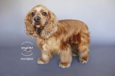 Cocker Spaniel dog for Adoption in Sherman Oaks, CA. ADN-698665 on PuppyFinder.com Gender: Male. Age: Young