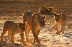 a group of lionesses   Lionesses give birth to 2-3 cubs at a time. Usually a couple females ...