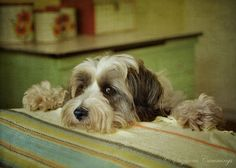 What about me? Tibetan Terrier Micky reminds me of my moosey