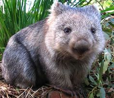 Dante Gabriel Rosetti was totally obsessed with wombats. He got one and called him Top. Too bad Top only lived in captivity for a few months, because I want one!
