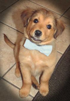 Atticus the Shepherd Mix knows a bowtie makes the occasion this much more special.