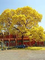 Ipe amarelo - Goias - Brasil