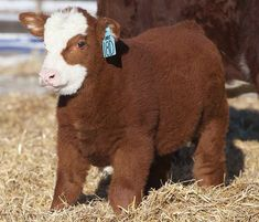 Librarian Matt melts all our frigid winter hearts with this little cutie! It's so fluffy!!! Spring is here and baby animals are all around! #calf #fluffy #cuteness #happiness
