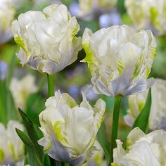 Creamy white flowers with a subtle blush of mauve and flecks of green. Flowers April to May. Summer Bulbs, Spring Bulbs, Spring Blooms, Spring Flowers, Bulb Flowers, Tulips Flowers, Colorful Flowers, White Flowers, Fall Plants