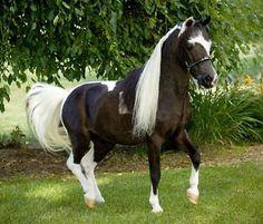 BEAUTIFUL!!!!  Miniature Horse