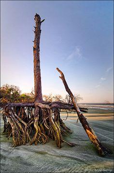 The Boneyard, Uprooted tree - Hunting Island State Park, Beaufort, South Carolina