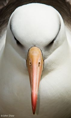 Black-browed albatross; Falkland Islands .Photo by John Shaw..