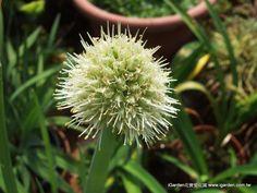 2013年3月 正牌的蔥花 - 蔥開出來的花