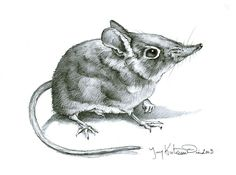 Original Pencil Drawing of an Elephant Shrew by rearviewSTUDIO (Etsy)