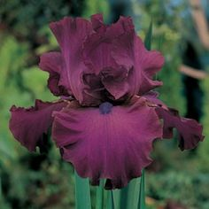 Bearded Iris Gypsy Romance, Iris germanica - Spring Perennials from American Meadows