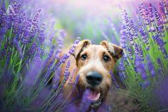 Lavender dream - My favorite dog photo ever ;) More: https://www.facebook.com/IzaLysonArts/