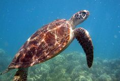 A Sea Turtle swimming at the Great Barrier Reef: Queensland, Australia Oh The Places You'll Go, Places To Visit, Turtle Love, Queensland Australia, Underwater World, Great Barrier Reef, Ocean Life, Marine Life, Sea Creatures