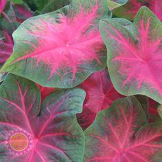 'Poecile Anglais' Caladium. Bushy with medium sized leaves. Medium height. Sun tolerance: Shade only.