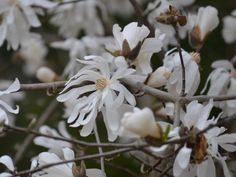 Star magnolia  opens pale blush to white flowers with a sweet fragrance in late winter to early spring.