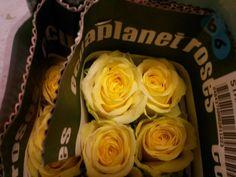 #Rose #Stardust; Availalbe at www.barendsen.nl